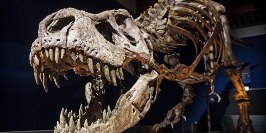Le T-Rex ne pouvait pas courir à plus de 20 km/h !