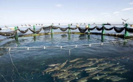 Aquaculture: 10 cages aménagées au large de Chétaïbi