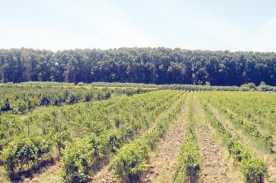 Transformation viti-vinicole à Aïn Témouchent: Une production de 230 000 quintaux de raisin attendue