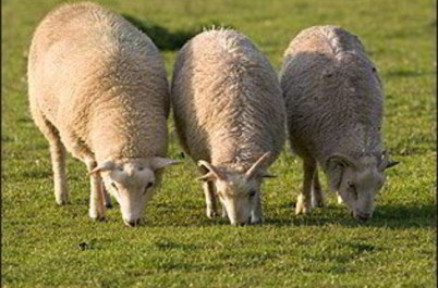Aïd El Adha: Les prix du mouton à moins de 50.000 dinars