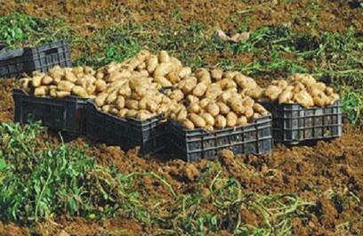 M'sila: 3 millions de quintaux de légumes seront produits