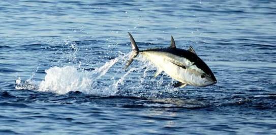 Ressources halieutiques : Thon rouge, carton plein pour les armateurs algériens