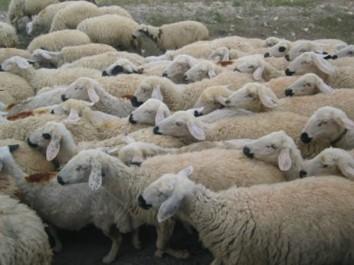 Des adresses pour le mouton de l'Aïd