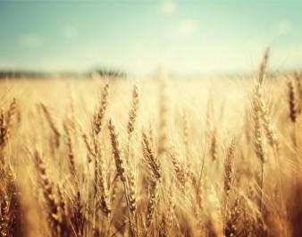 Le cours mondial du blé reste stable