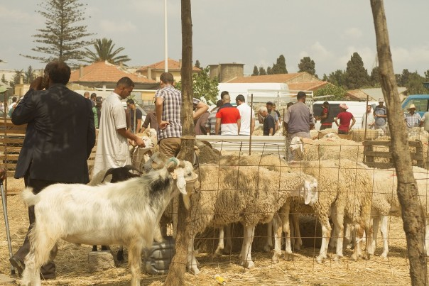 Moutons-360-1