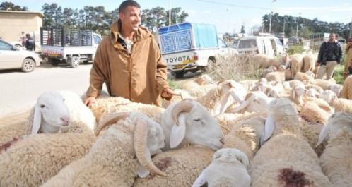 Vente de mouton de l'Aïd: Tizi Ouzou : 21 marchés hebdomadaires désignés