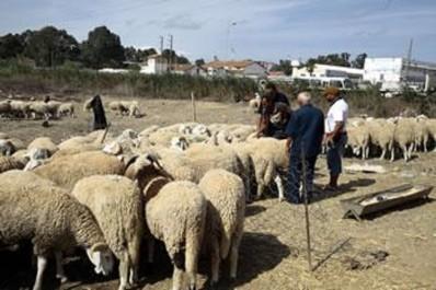 Les algériens redoutent le scénario de la viande putréfiée de l'année dernière: Le spectre du mouton bleu