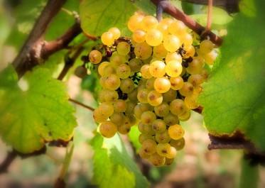 Aïn Témouchent: 3000 quintaux de raisin de cuve transformés