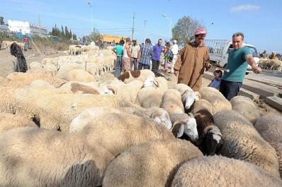 Mouton de l'Aid: baisse sensible des prix et amélioration de la qualité