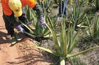 khenchela : plus de 40 jeunes formés aux techniques de plantation de l'aloe vera