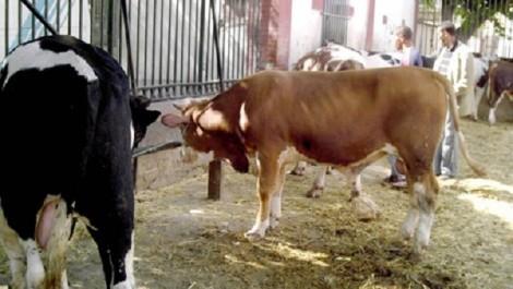 Association «Kafeel El Yatim» de Bouira: 210 moutons et 7 bœufs offerts