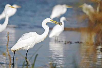 Leur nombre a pratiquement sextuplé en l'espace de trois années: L'avifaune s'enrichit à Mila