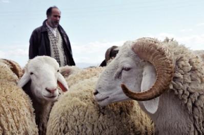 Aïd El Adha à Béjaïa: 65 points de vente de moutons autorisés