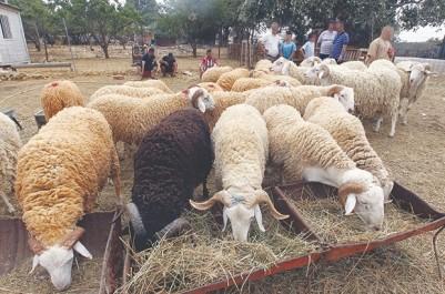 Son prix connaît une hausse vertigineuse à l'approche de la fête:  Mouton de l'Aïd : une saignée de plus pour les ménages
