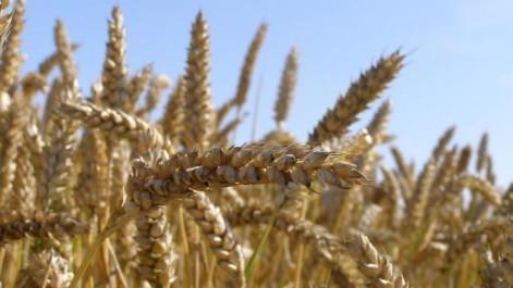 Forte baisse des prix mondiaux du blé