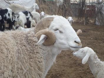 Aïd el Adha: Les prix du mouton chauffent
