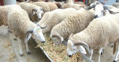 Chlef : 60 médecins vétérinaires pour le contrôle sanitaire des moutons