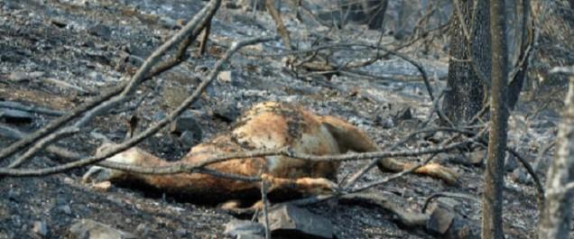Les incendies ont détruit plus de 17 000 hectars en une semaine