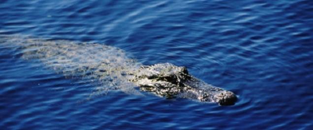 350 alligators pourraient s'échapper dans les rues de Houston
