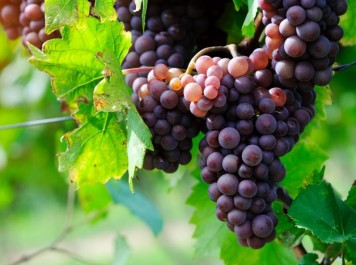 Aïn-Temouchent: La production de raisin en hausse