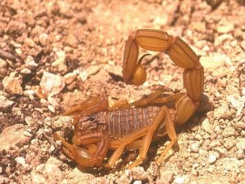 Découverte d'un scorpion à deux aiguillons