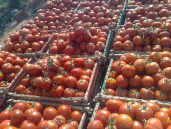 Leurs tomates ont été jetées dans les oueds: Les producteurs appellent à stopper l'importation
