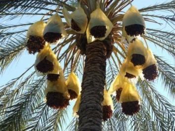 Ghardaïa : Plus de 590 000 quintaux de dattes attendus