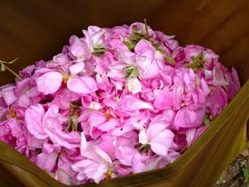 L'eau de rose : un trésor de beauté