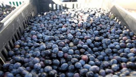 Algérie: La récolte d'olives pourrait dépasser les 26.000 quintaux dans la wilaya de Ghardaïa