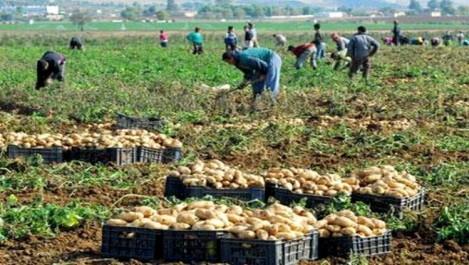 Production agricole dans la wilaya d'el oued : De grandes potentialités qui n'attendent qu'à être exploitées