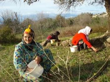 Malgré la sécheresse et les ravages du feu : L'olivier n'abdique pas en Kabylie