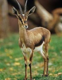 Tiaret : La gazelle de l'Atlas menacée de disparition