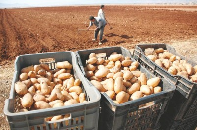 70 000 tonnes mises sur le marché à Bouira
