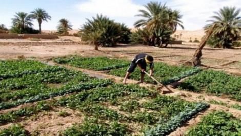 Algérie : La surface agricole cultivée pour 2017-2018 devra passer à plus de 70.000 hectares dans la wilaya d'Adrar